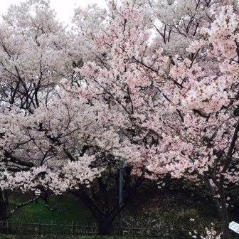 お花見の季節♪