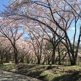 桜の時期も終盤です!
