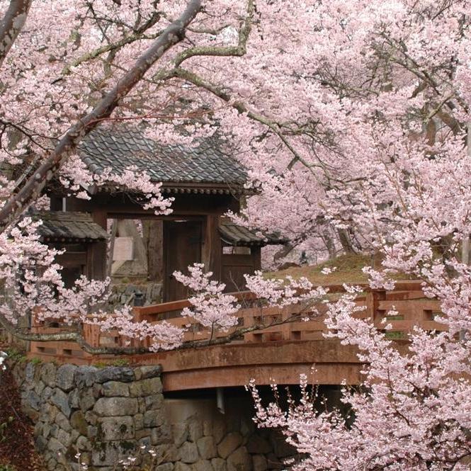 名城100選!桜の三大名所♪ 高遠城址公園お花見散策イベント