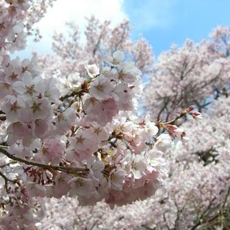 高遠城址公園 お花見散策イベント