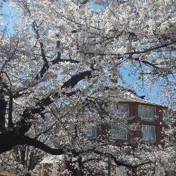【速報】周辺エリアは桜が見頃です(4/17現在)