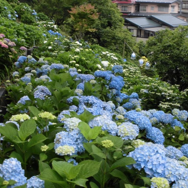 梅雨入りと紫陽花