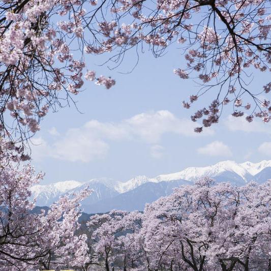 【無料送迎付】名城100選!桜の3大名所♪高遠城址公園お花見イベント
